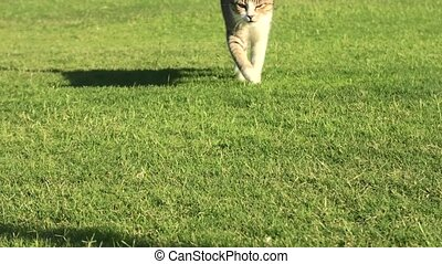 tabby cat in the green grass background - close up of a...
