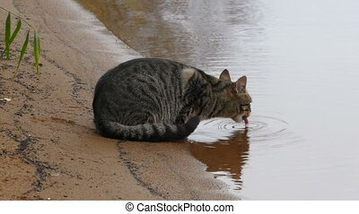 tabby cat lapping water from the river close-up