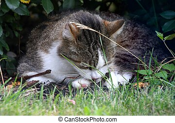 tabby cat licking paw