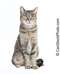 tabby cat looking at the camera