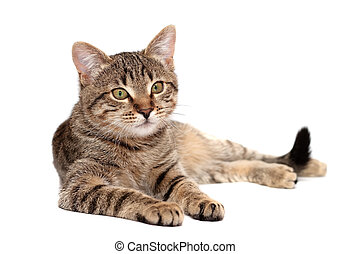 Tabby cat lying on white background