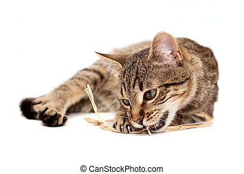 Tabby cat lying on white