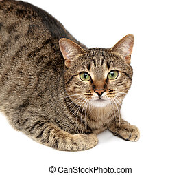 tabby cat on white