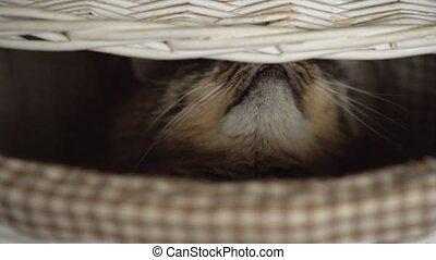 Tabby cat peeking out of a wooden basket