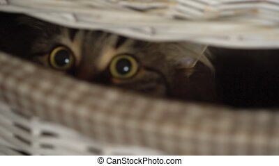 Tabby cat peeking out of a wooden basket - Cute tabby cat...