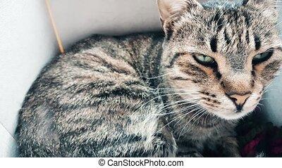 Tabby cat resting in a cozy box - Closeup of a cute tabby ...