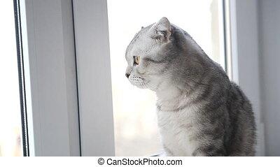 Tabby cat sitting in the window - Tabby Scottish lop-eared...