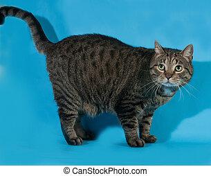Tabby cat standing on blue