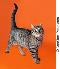 Tabby cat standing on orange