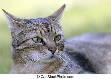 tabby cat - cat portrait
