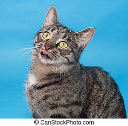 Tabby cat with yellow eyes on blue