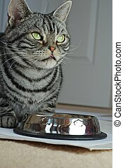 tabby, chat gris