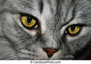 tabby, détail, chat