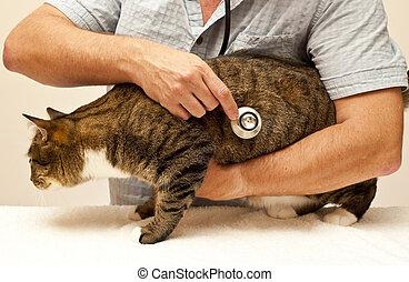tabby, em, a, veterinário