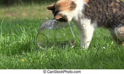 Tabby female kitten catching golden fish with claw in glass...