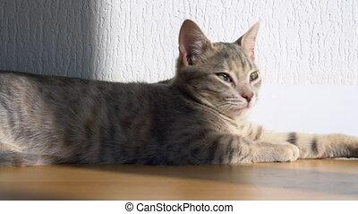 tabby, gris, maison, lumière soleil, chaton, regarde, mignon...