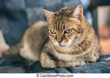 tabby, infelice, gatto grasso
