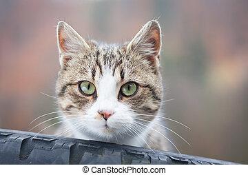 tabby kat, closeup, band, het turen, uit