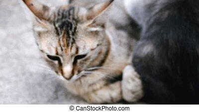 Tabby kitten drink milk from mom handheld shot 4k