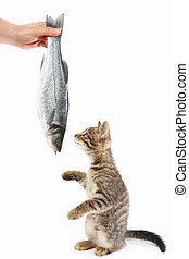 Tabby kitten looking at labrax fish which gives it a female...
