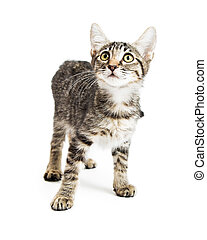Tabby Kitten Looking Up on White
