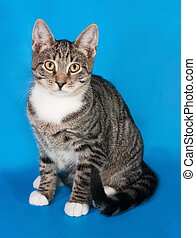 Tabby kitten with white spots sitting on blue