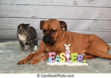 Tabby Manx cat and a Boxer breed dog Easter portrait