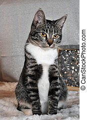 Tabby Manx Cat portrait for New Years, Christmas, Valentines Day