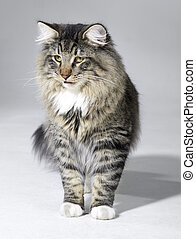 tabby Norwegian Forest cat - tabby Norwegian Forest kitten...