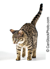Tabby quietly stepping on the floor - Kitten quietly ...