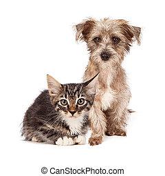 tabby, ras, katje, gemengd, puppy, terrier