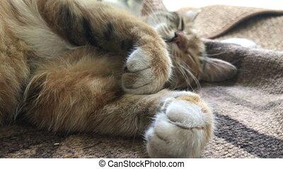 tabby sleeps bending paws - big tabby sleeps bending paws