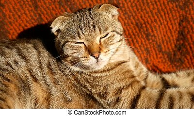 tabby video cat lying with eyes closed - tabby video cat...