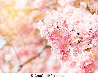 Tabebuia heterophylla (Pink Trumpet Tree )