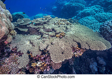 Table coral in the Red Sea
