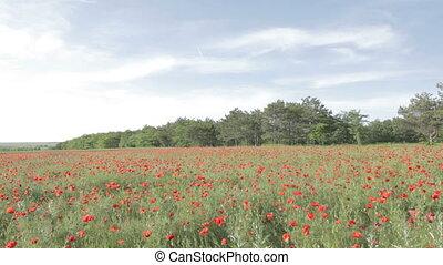Tableau of red poppies in bloom