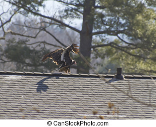 tacchino, casa, terre, avvoltoio, tetto