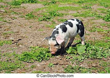 tacheté, cochon