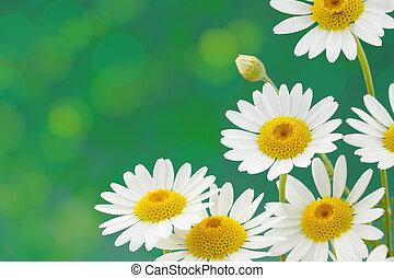 tacheté, contre, arrière-plan vert, fleurs, pâquerettes