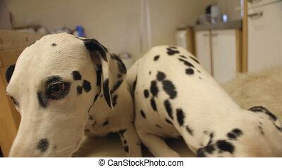 tacheté, deux, chiens