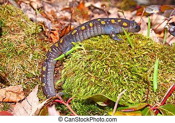 tacheté, michigan, northwoods, salamandre