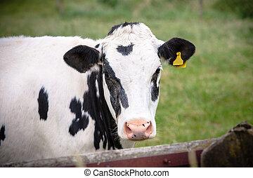 tacheté, regard, vache, à poil, noir, curieux, blanc