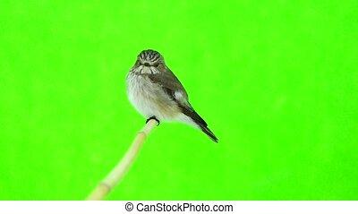 tacheté, striata), (muscicapa, flycatcher