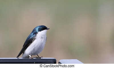 Tachycineta bicolor, Tree Swallow, relaxed - A Tachycineta...