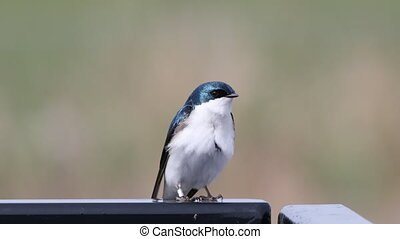 Tachycineta bicolor, Tree Swallow, resting - A Tachycineta...