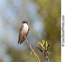 tachycineta, golondrina de árbol, -, bicolor