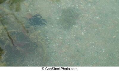 Tadpole Flock Swim Pond - Flock of black tadpoles swimming ...