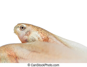 Tadpole in white background.