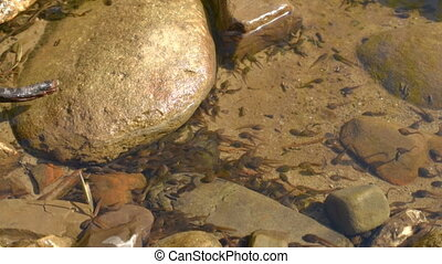 tadpoles in a river side pool - Thousands of small tadpoles...
