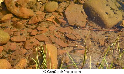 Tadpoles in clear water. - Tadpoles are swimming in a...
